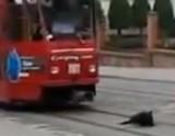 有轨电车司机遇到霸道懒狗表示很无奈